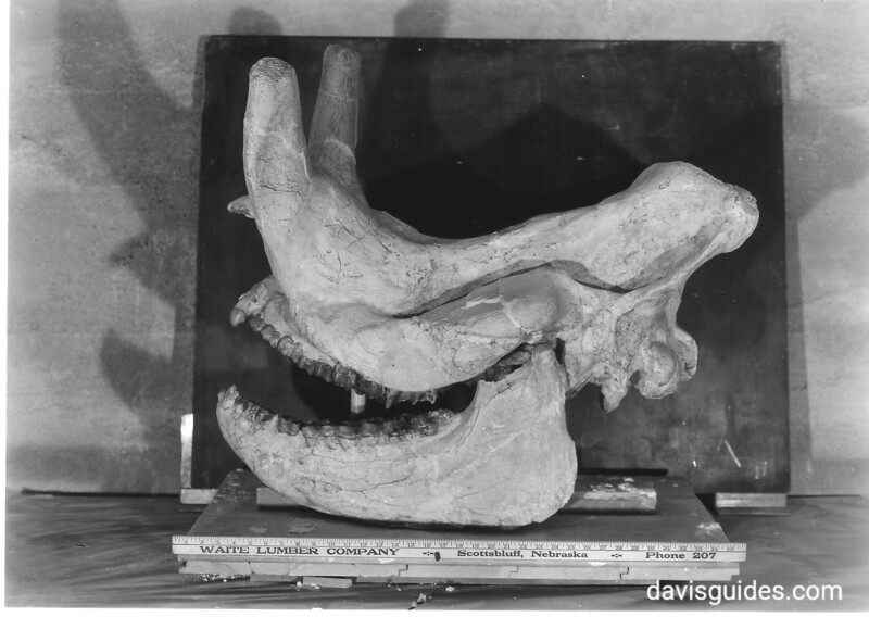 Fossil in Scotts Bluff Museum, found in Agate Fossil Beds north of Scotts Bluff. The jaw does not belong to the skull.  Scotts Bluff National Monument, 1938