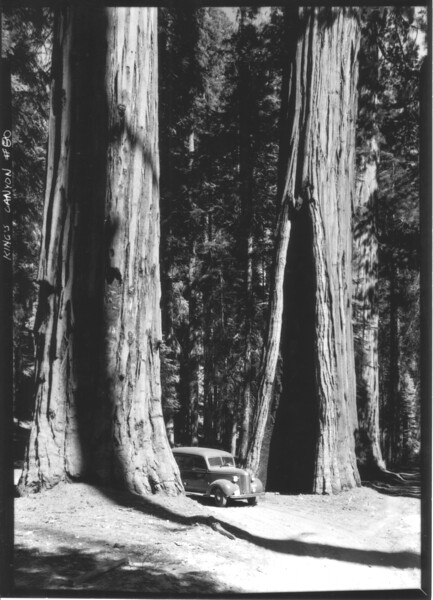 George Grant's panel truck (the Hearse) driving between Sequoia trees. Sequoia and Kings Canyon National Parks, 1940.