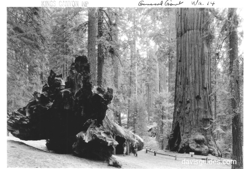 Fallen sequoia near the Robert E. Lee Tree, which stands on the right. It has been used as a kitchen, a hotel, a horse barn, and a barracks for the U.S. Cavalry.  Sequoia and Kings Canyon National Parks, 1936.