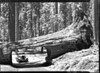 Automobile approaching Tunnel Tree on Crescent Meadow Road. Sequoia and Kings Canyon National Parks, 1940.