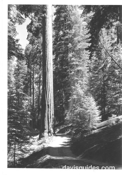 Sequoia tree on Redwood Canyon Trail. Sequoia and Kings Canyon National Parks, 1940.