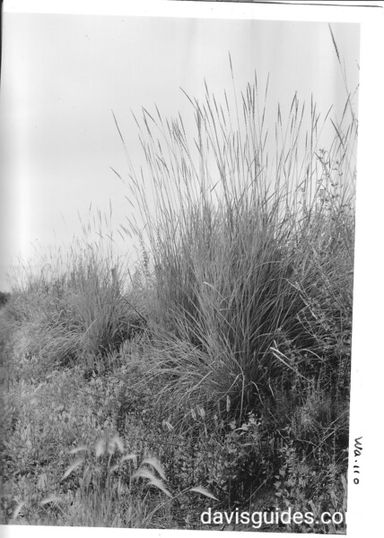 """Grass known locally as """"wild rye"""" is common in the area. Known as """"Waiilatpu"""" meaning """"place of the rye grass"""" in the language of the Cayuse Indians. Whitman Mission National Historic Site, 1941."""