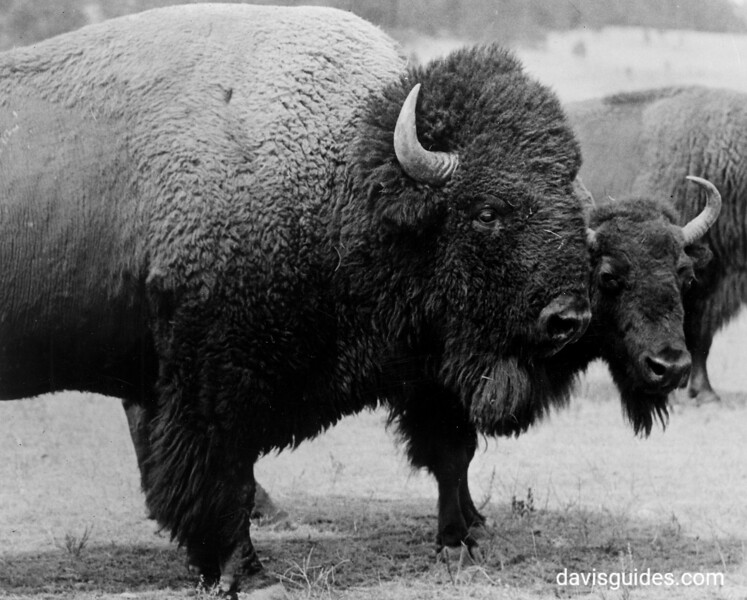 Two buffalo bulls. Wind Cave National Park, 1936.