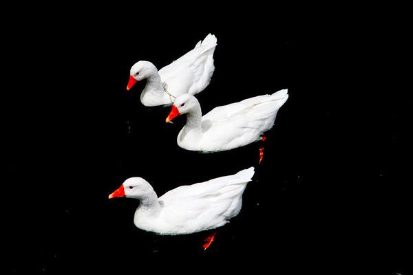 White on Black. Geese on lake outside Salida.