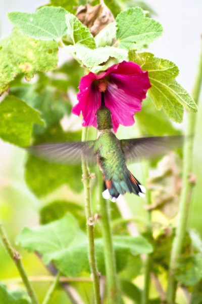 The humming birds often visited the Hollyhock flowers on our camp site.