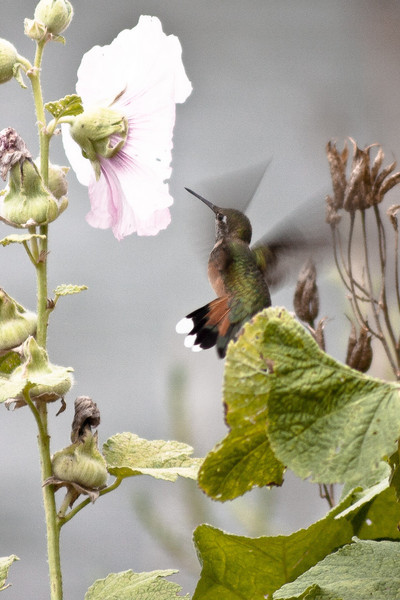 Hummers kept getting in my way as I took pictures of the Hollyhocks.