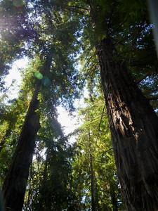 Redwoods -- UC Davis Arboretum