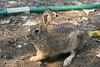 Pompeys Pillar had a lot of rabbits at it.