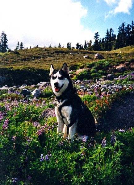 CLEA IN THE LUPINES<br /> I didn't even know Clea was posing like this. Thank goodness Maria was more observant than I was. She took this.