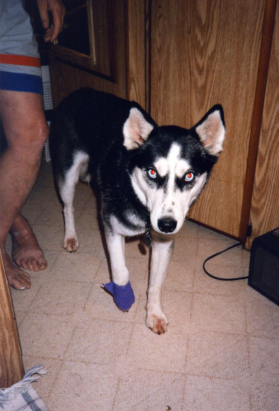 CLEA'S BOO-BOO<br /> One day, Smokey and Red started chasing one of the Mexican's trucks and Clea joined in the fun. Unfortunately, Smokey (the big lug) bumped into her and sent her right front paw under the truck's rear wheel. It was mashed like hamburger, but it healed up fine.