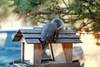 ABERT'S SQUIRREL (or Tassel-eared Squirrel)<br /> Estes Park, Colorado