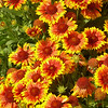 And yet even more Indian Blanket flowers.