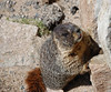"Chuck the Marmot (all marmots are named ""Chuck"", actually)."