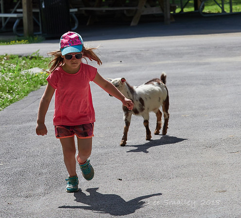 Chased by a goat