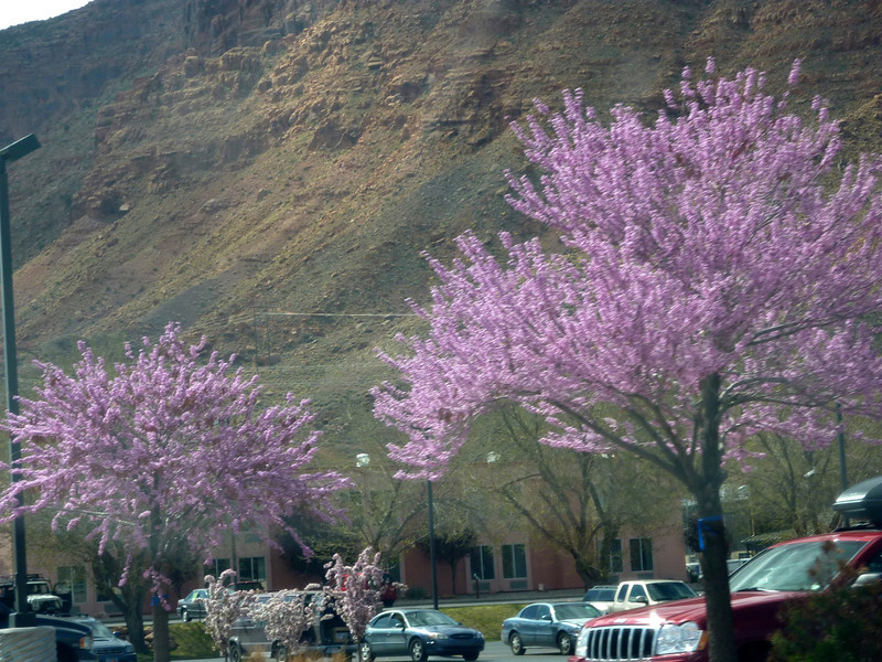 Spring blossoms were a welcome sight along the highway in Moab.