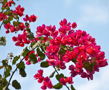 Bouginvillea in lo Cielo