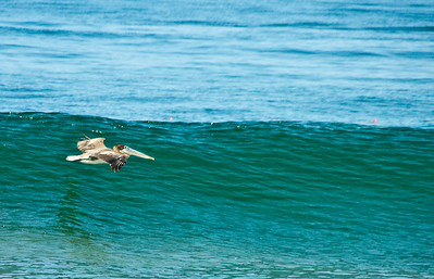 Pelican Wave Surfing