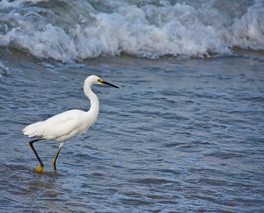 Egret Working the Surf