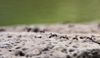 Ants at Punta Raza