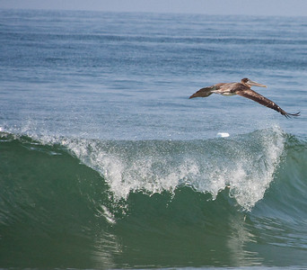 Pelicans Wave Surfing