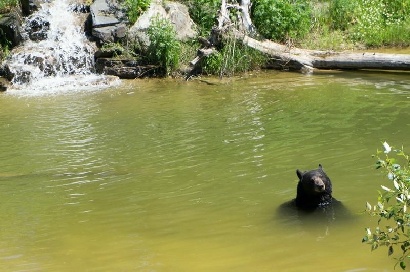 A bear at the Ely Bear Center
