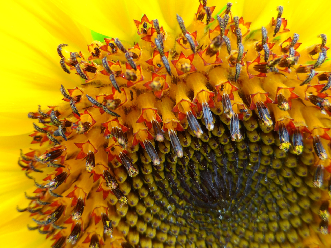 Macro photo of one of Dad's sunflowers.