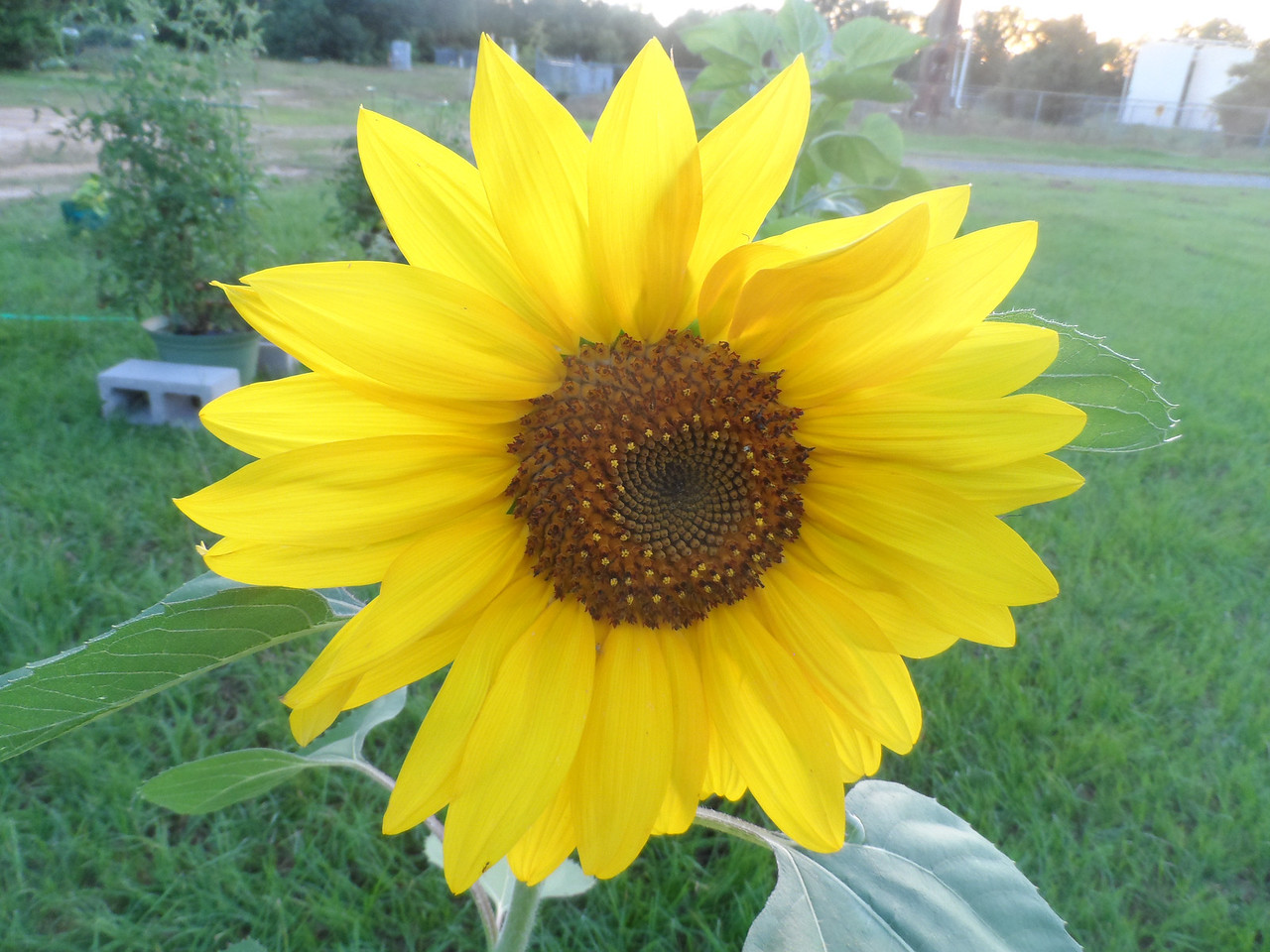 Sunflower's are awesome!