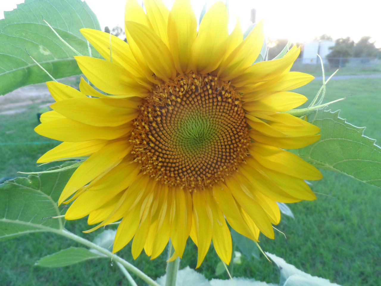 Sunflower in Dad's garden.