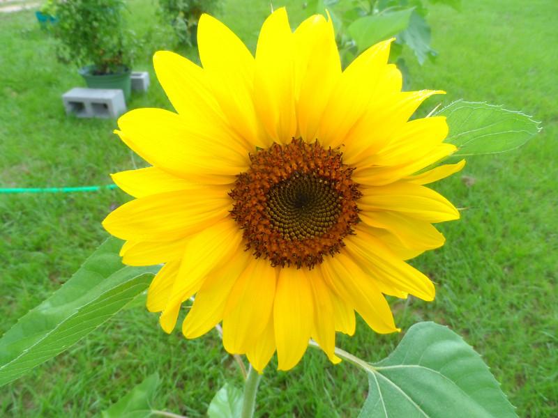 Closeup of sunflower.