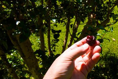 Haiku Surinam Cherry
