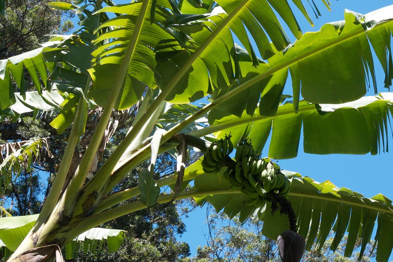 Banana's- Garden Rita Okeane in Haiku
