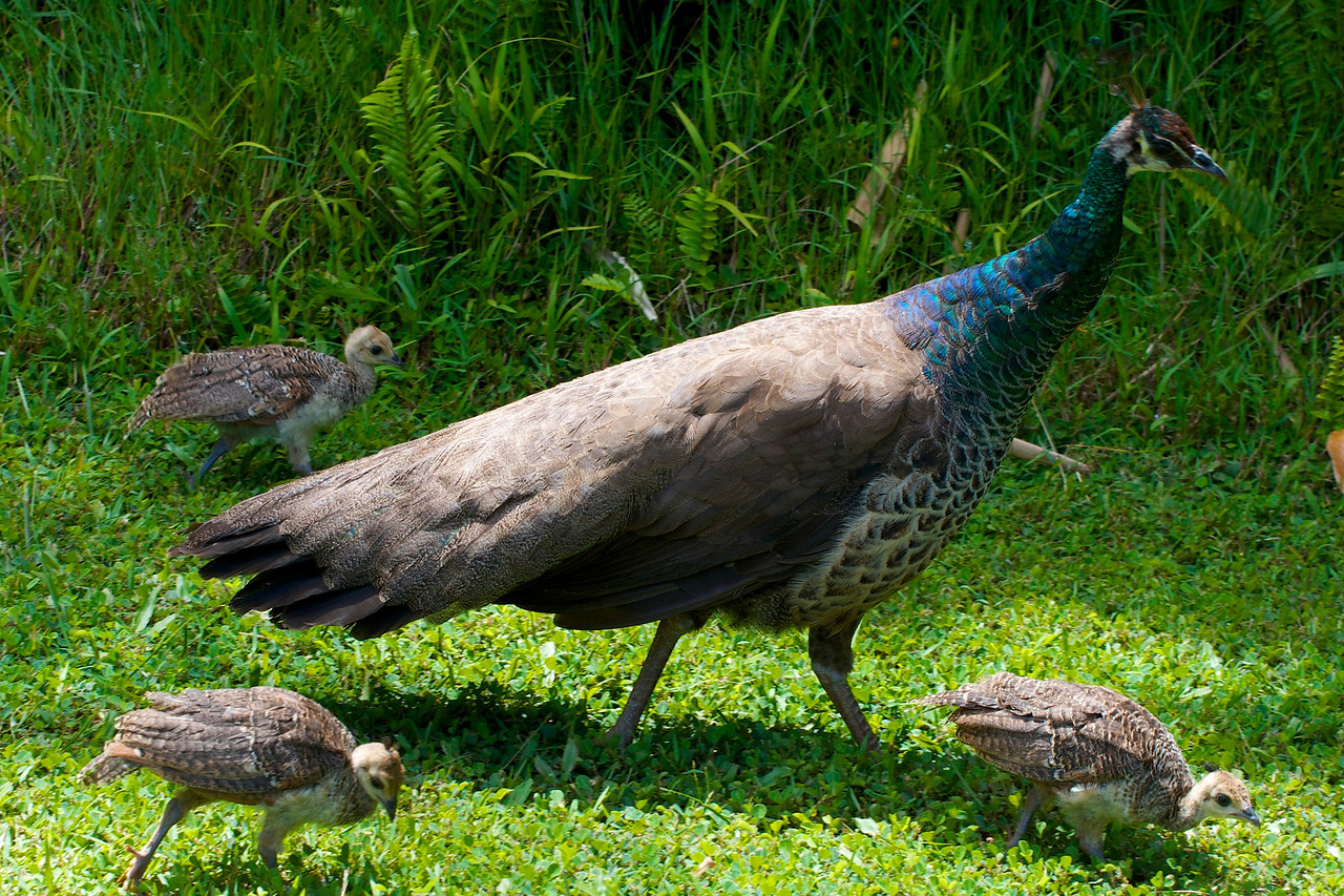 Peacock- The whole family