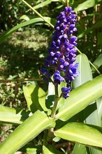 Blue Ginger- Garden Rita Okeane in Haiku