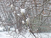 Magnolia buds in the snow, Fernwood Nature Center, Michigan