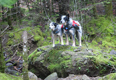 Gorge dogs