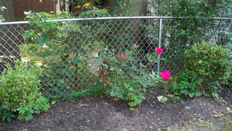 Wonderful roses along the fence in the back yard.