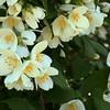 May 2002:  Mock Orange in full bloom.