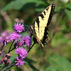 August 2004:  Yellow Swallowtail on Ironweed, II.