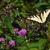 August 2004:  Yellow Swallowtail on Ironweed plant.
