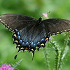 August 2004:  Black Swallowtail.