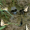 August 2004:  Biracial Swallowtail meeting.