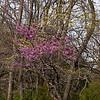 April 2005:  Redbud tree and dogwoods.