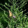 August 2004:  Yellow Swallowtail on thistle.