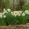 April 2006:  The daffodils are descendants of plantings by Grandma Sylvia.