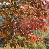 October 2008:  Dogwoods turning red.