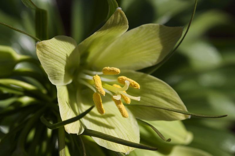 Fritillaria radeana