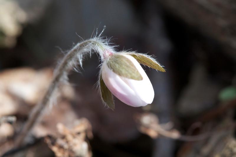 Hepatica emerging