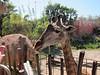 Giraffe, Lowery Park Zoo, Tampa, 3/16/2013