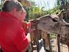 Ken and Matthew feeding a giraffe, Lowery Park Zoo, Tampa, 3/16/2013