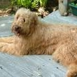 """Abby, a """"goldendoodle"""""""